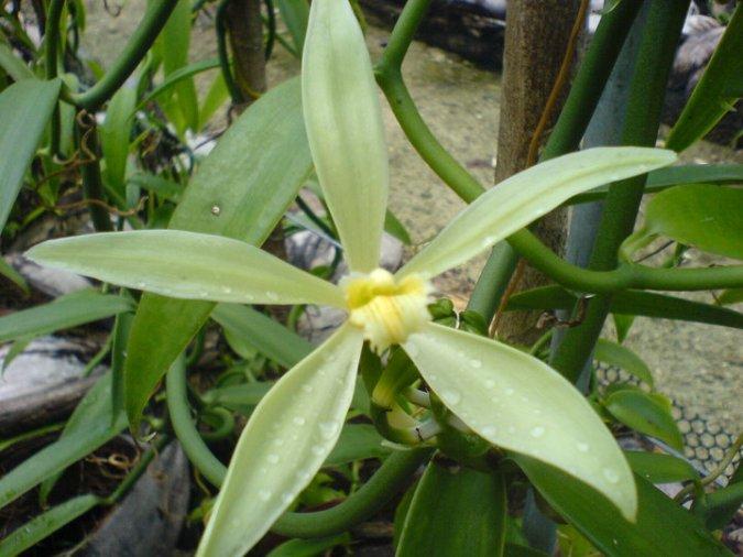 Vanilla Flower